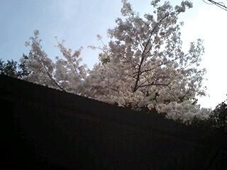 2011Apr10-Sakura2.jpg