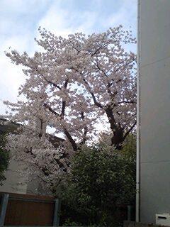 2011Apr10-Sakura1.jpg