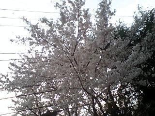 2011Apr10-Sakura3.jpg