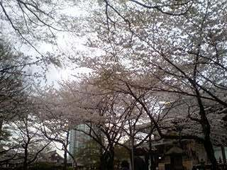 2011Apr8-Sakura1.jpg