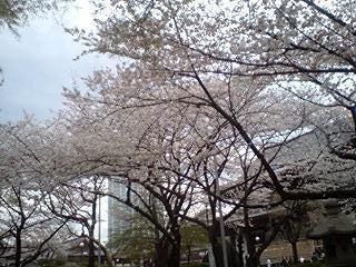 2011Apr8-Sakura2.jpg